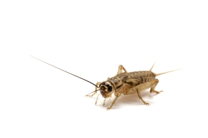 Brown_House_Cricket_5992613